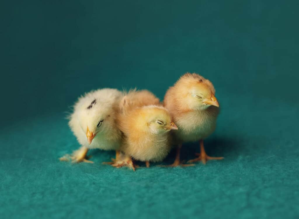 three baby chicks sleeping