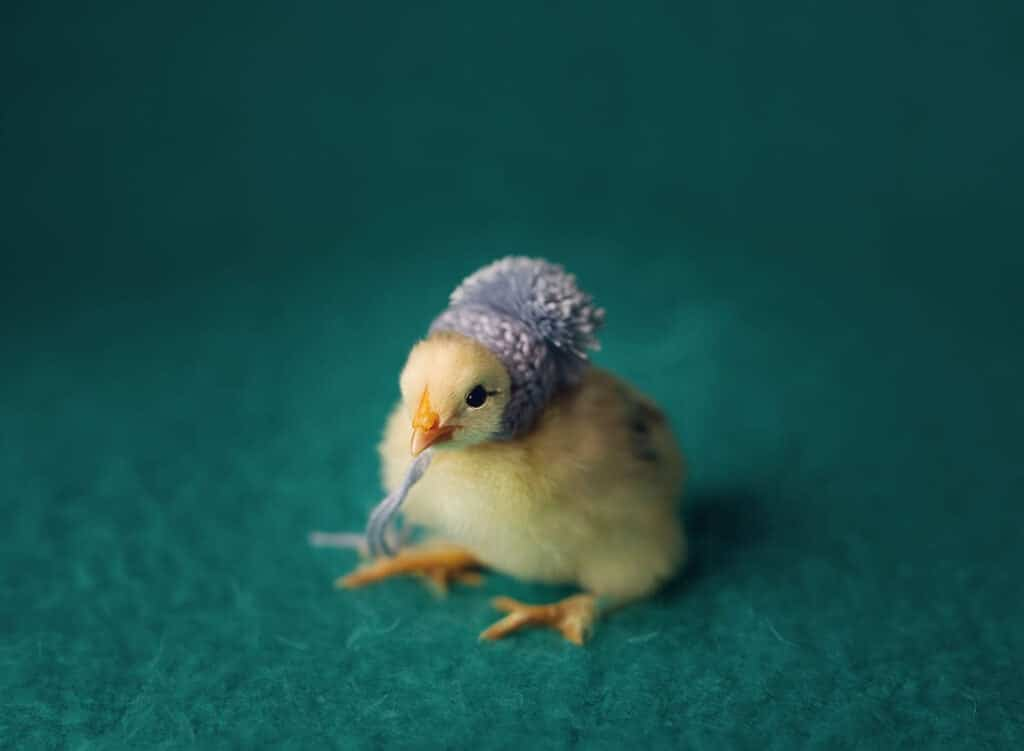 baby chick wearing hat