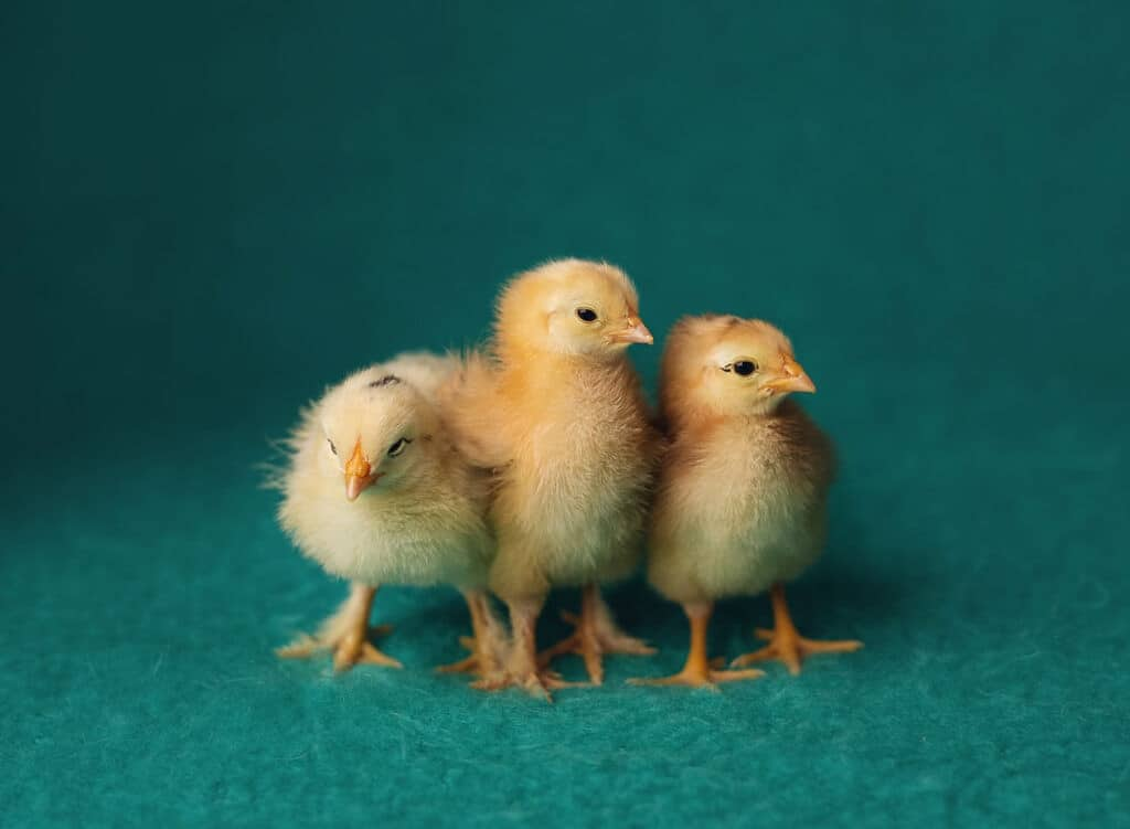 three baby chicks