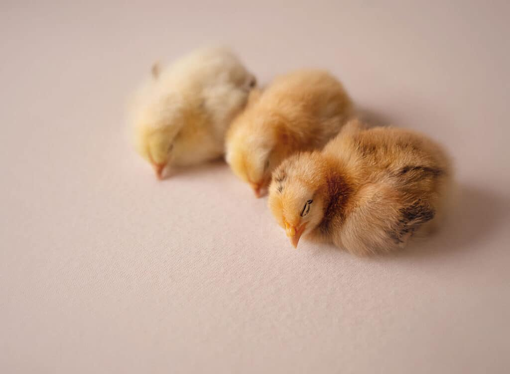 baby chicks sleeping