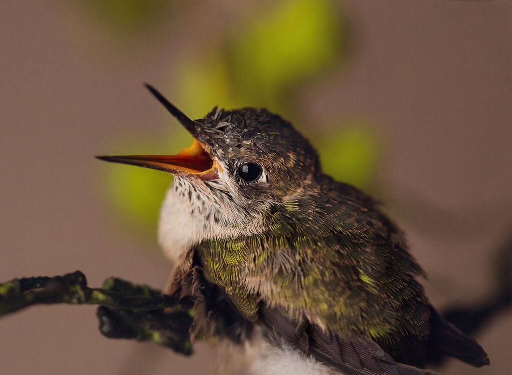 baby hummingbird with mouth open waiting to eat