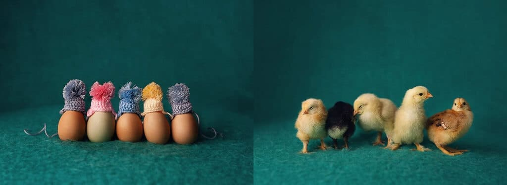 before and after eggs and chicks