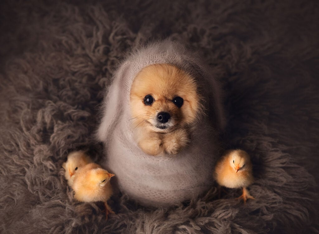 Pomeranian with baby chicks